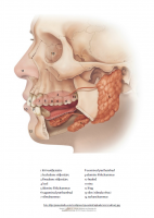 Poster: Näo ja suu anatoomia