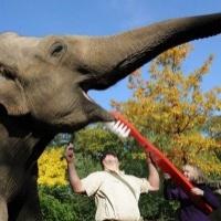 Elevant kulutab hambaid