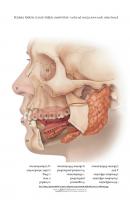 Tööleht: Näo ja suu osad